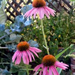 Echinacea – Reconnecting with a sense of true self; rebuilding self-identity and dignity after experiencing profound trauma that may manifest as physical illness or depleted immune system.